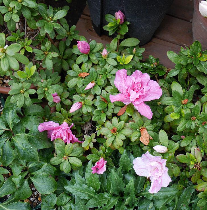 アザレアが咲きだした。2018年-7.jpg