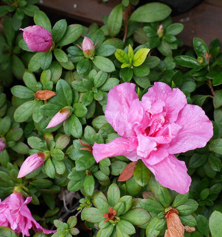 アザレアが咲きだした。2018年-8.jpg