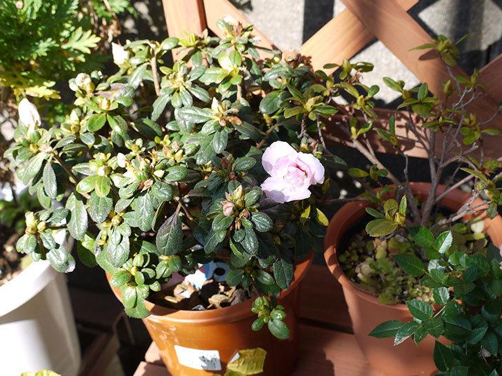 アザレアが咲きはじめた。2015年-2.jpg