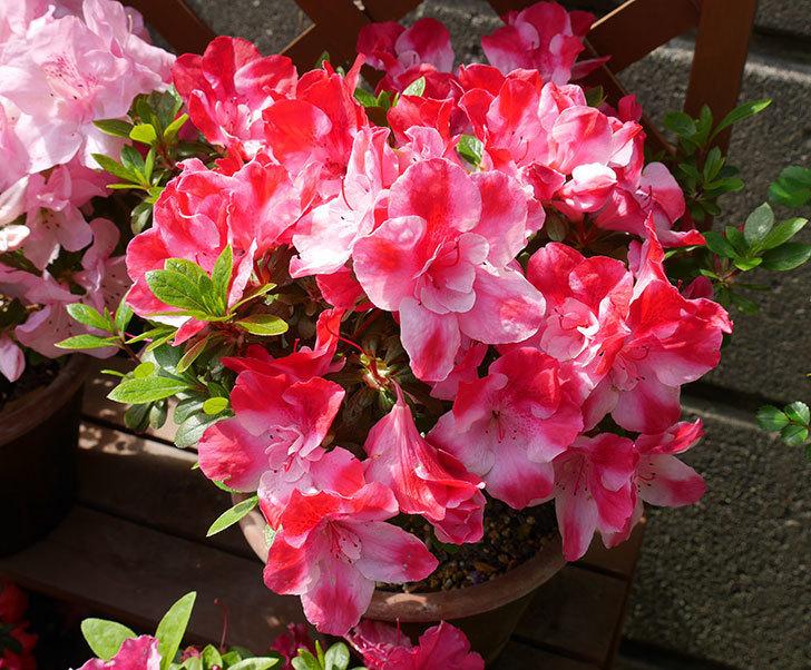 アザレアが綺麗に咲いた。2018年-1.jpg