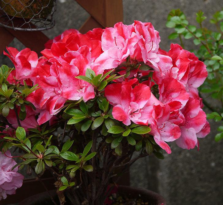 アザレアが綺麗に咲いた。2018年-9.jpg