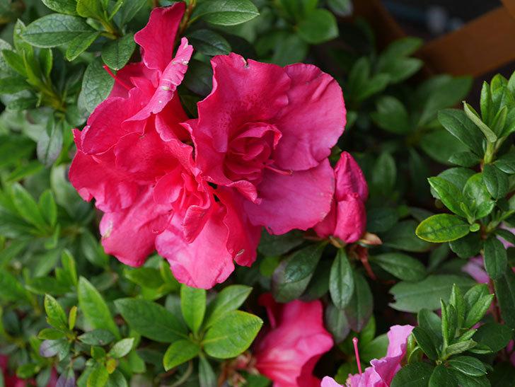 アザレアの花が咲いた。2021年-001.jpg