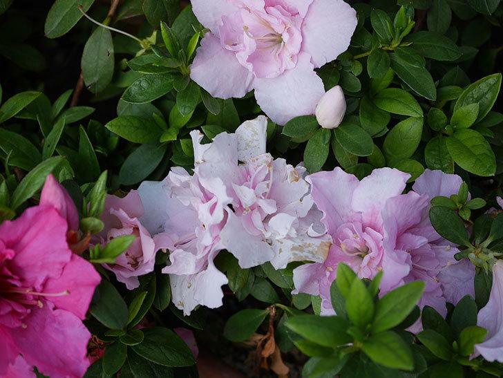 アザレアの花が咲いた。2021年-002.jpg