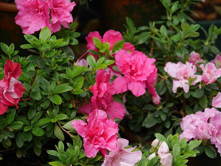 アザレアの花が咲いた。2021年-010.jpg