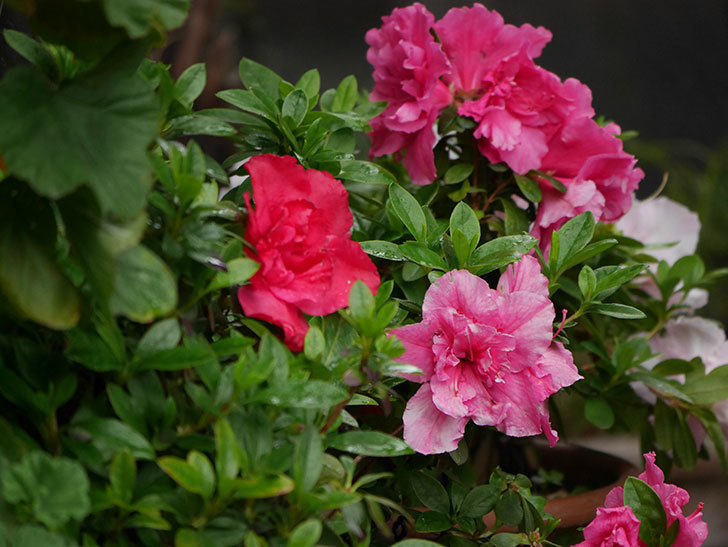 アザレアの花が咲いた。2021年-011.jpg
