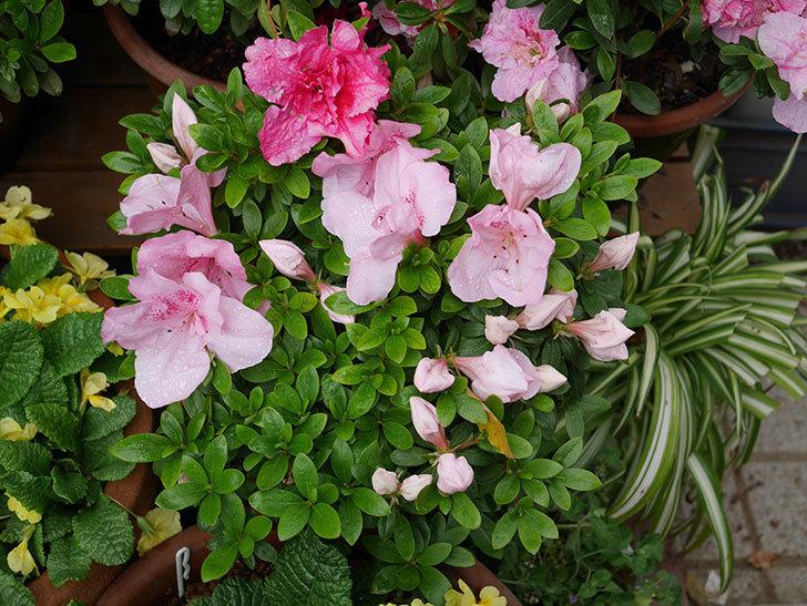 アザレアの花が咲いた。2021年-014.jpg