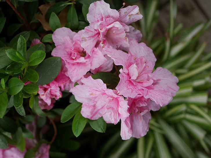 アザレアの花が咲いた。2021年-017.jpg