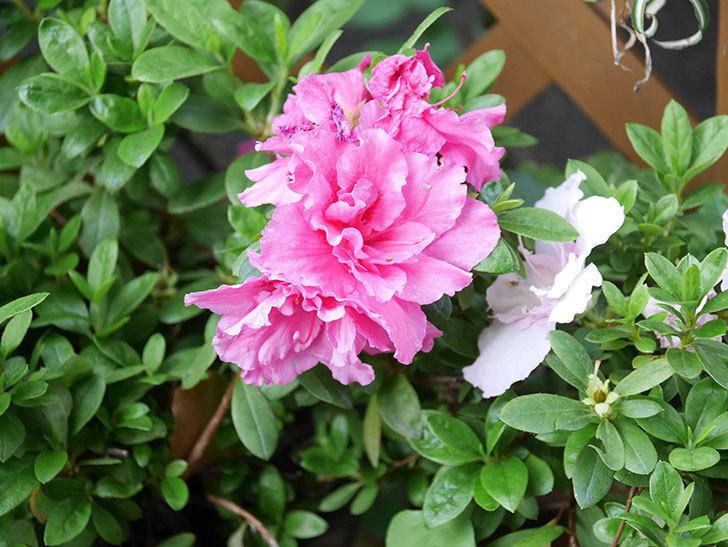 アザレアの花が咲いた。2021年-022.jpg