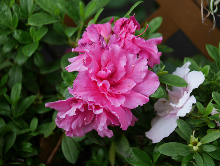 アザレアの花が咲いた。2021年-023.jpg