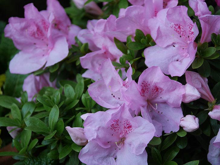 アザレアの花が咲いた。2021年-024.jpg
