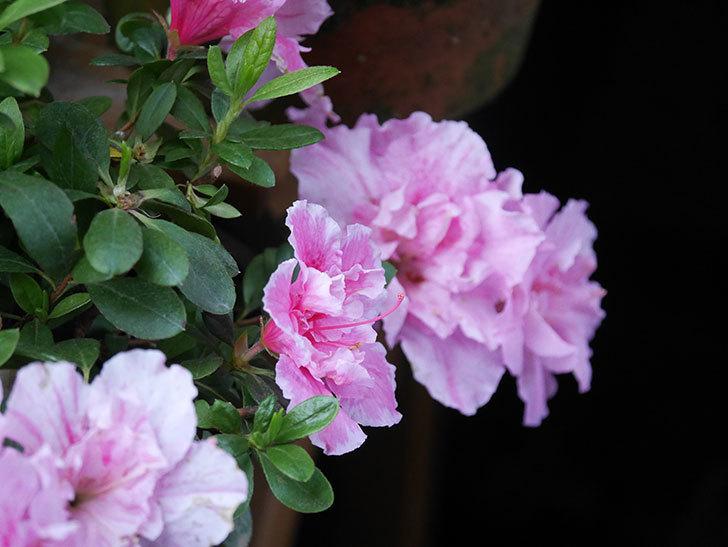 アザレアの花が咲いた。2021年-025.jpg