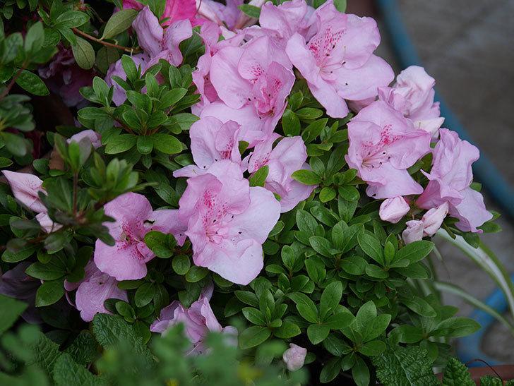 アザレアの花が咲いた。2021年-028.jpg