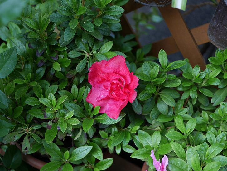 アザレアの花が咲いた。2021年-031.jpg
