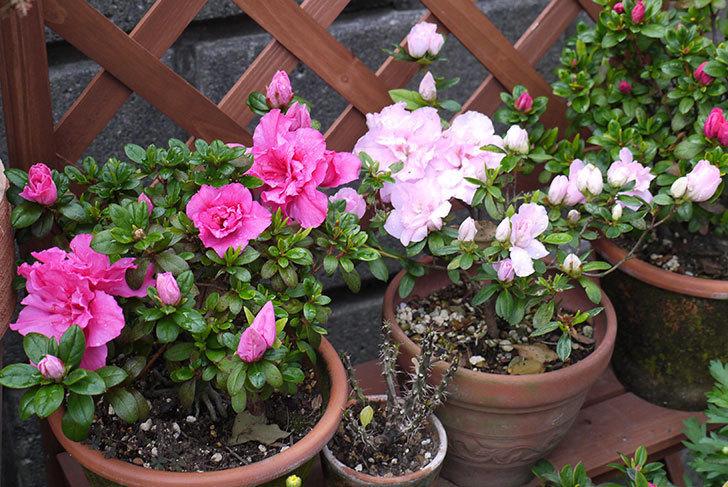 アザレアの花が増えてきた。2016年-1.jpg