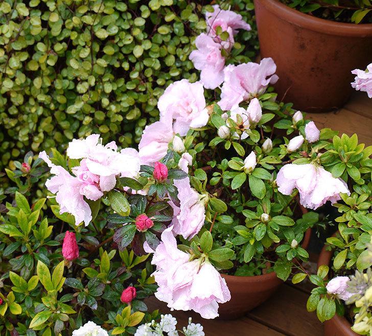 アザレアの花が増えてきた。2017年-1.jpg