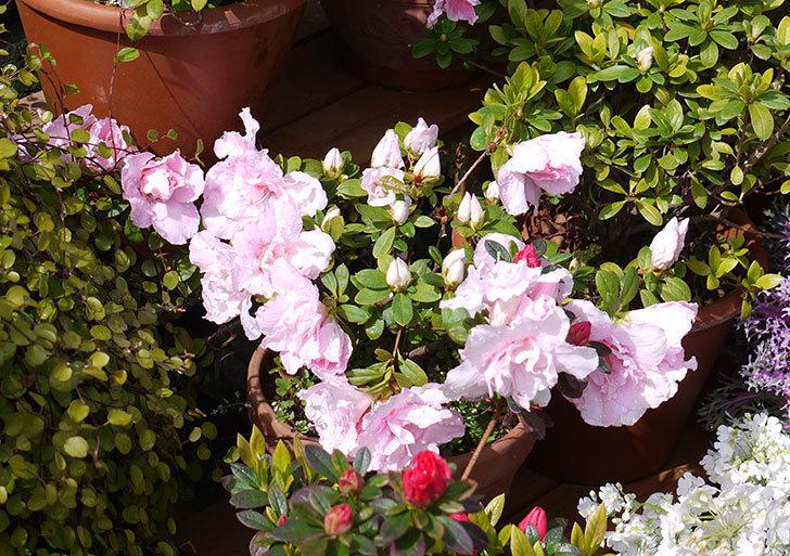 アザレアの花が増えてきた。2017年-5.jpg
