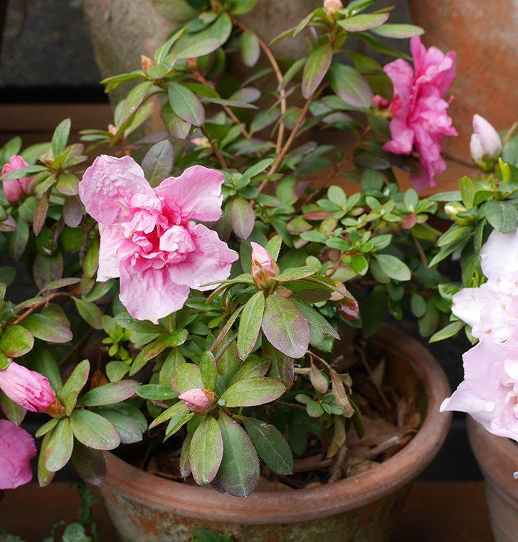 アザレアの花が増えてきた。2019年-2.jpg