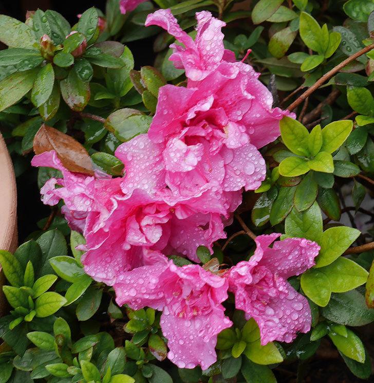 アザレアの花が増えて来た。2020年-2.jpg