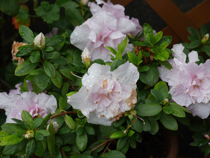 アザレアの花が増えて来た。2020年-3.jpg