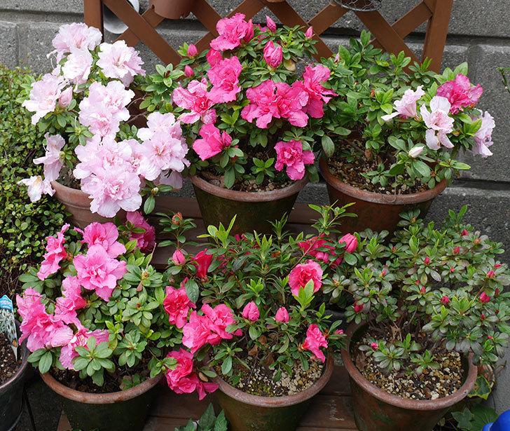 アザレアの花が増えて良い感じになった。2018年-1.jpg