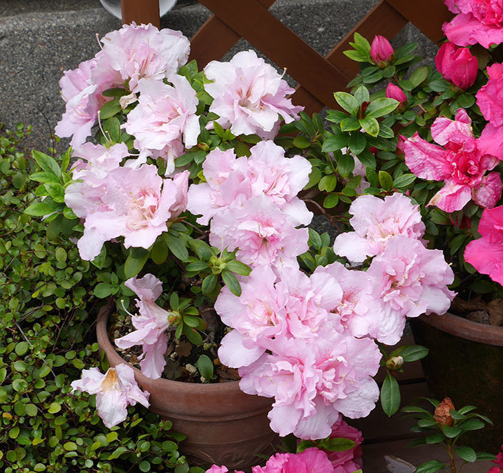 アザレアの花が増えて良い感じになった。2018年-2.jpg