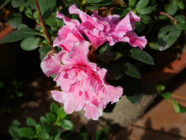 アザレアの花が少し咲いた。2020年-003.jpg