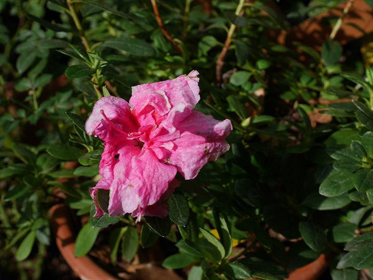 アザレアの花が少し咲いた。2020年-005.jpg