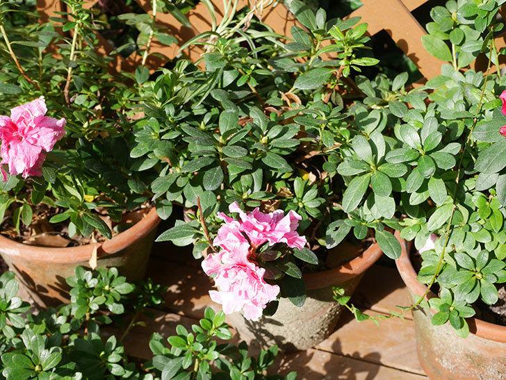 アザレアの花が少し咲いた。2020年-006.jpg