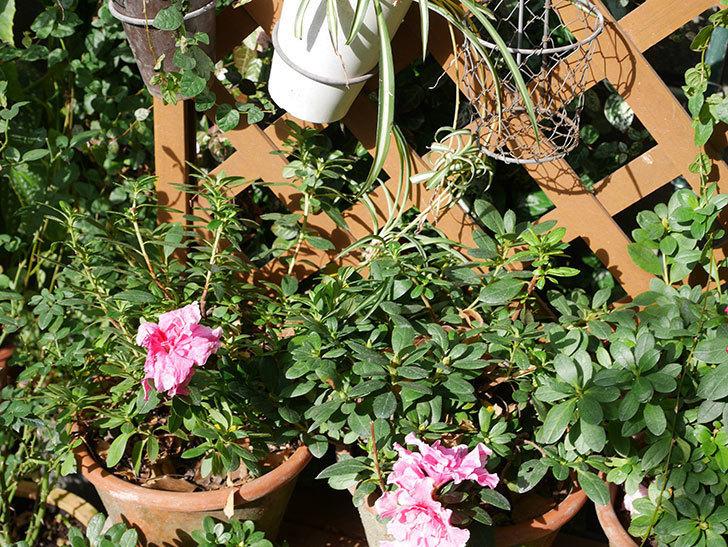 アザレアの花が少し咲いた。2020年-008.jpg
