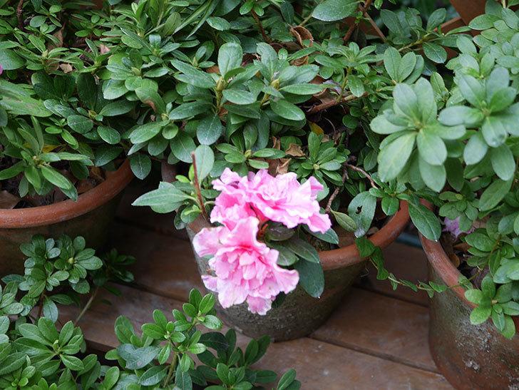 アザレアの花が少し咲いた。2020年-009.jpg