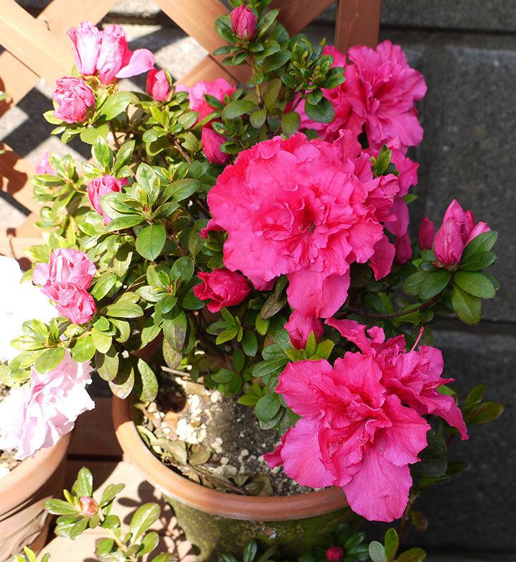 アザレアの花が更に咲いた。2016年-3.jpg