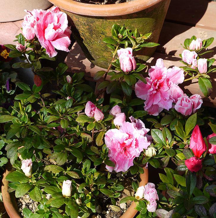 アザレアの花が更に咲いた。2016年-4.jpg