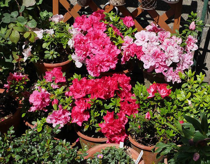 アザレアの花が満開になった。2020年-1.jpg