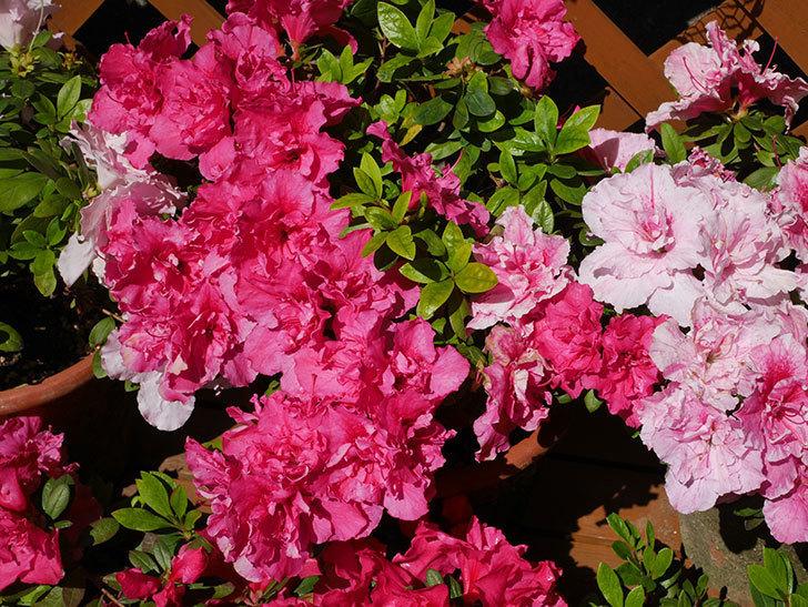 アザレアの花が満開になった。2020年-4.jpg