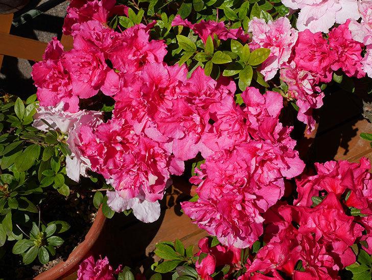 アザレアの花が満開になった。2020年-5.jpg