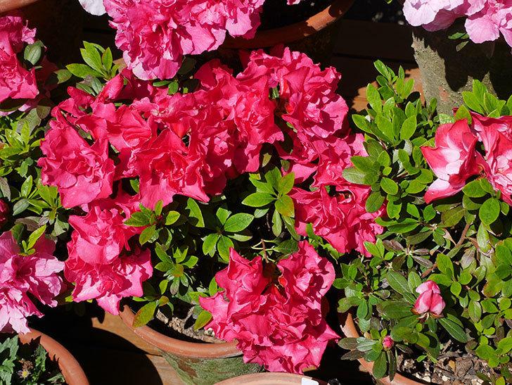 アザレアの花が満開になった。2020年-6.jpg
