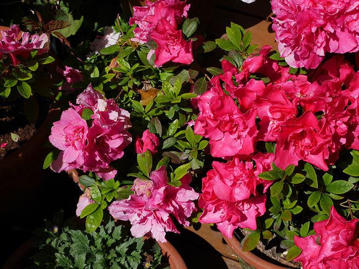 アザレアの花が満開になった。2020年-8.jpg