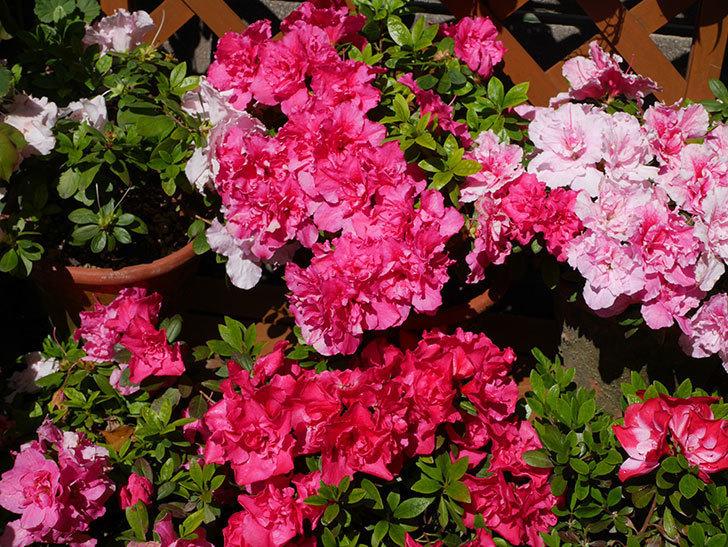 アザレアの花が満開になった。2020年-9.jpg