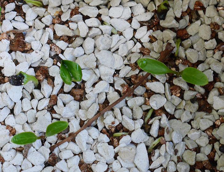 アシュードホワイトシフォンの種から芽が出てきた。2020年-2.jpg