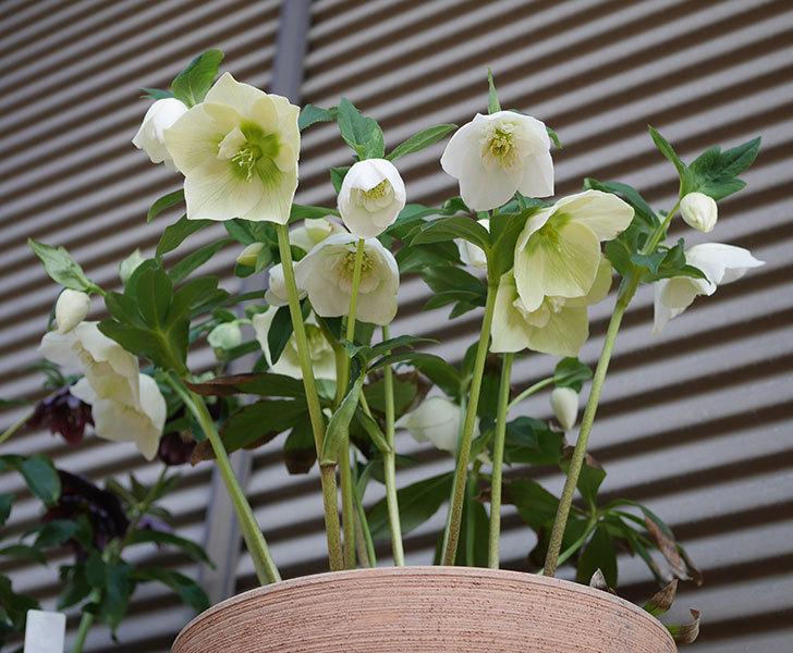 アシュードホワイトシフォンの花がたくさん咲いた。2020年-1.jpg