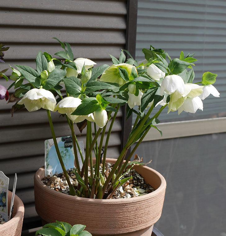 アシュードホワイトシフォンの花がたくさん咲いた。2020年-12.jpg