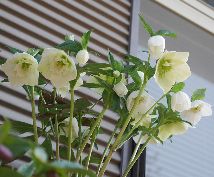 アシュードホワイトシフォンの花がたくさん咲いた。2020年-2.jpg
