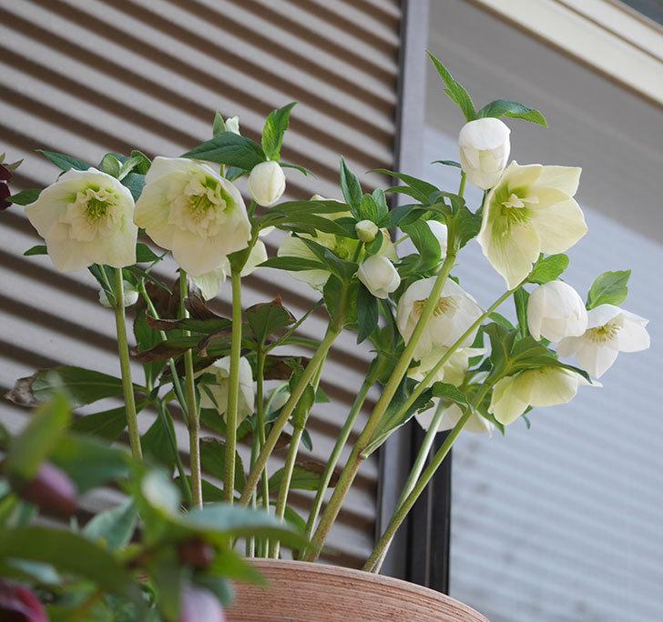 アシュードホワイトシフォンの花がたくさん咲いた。2020年-3.jpg