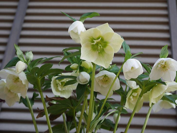 アシュードホワイトシフォンの花がたくさん咲いた。2020年-4.jpg