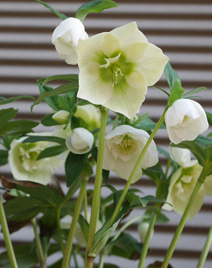 アシュードホワイトシフォンの花がたくさん咲いた。2020年-5.jpg