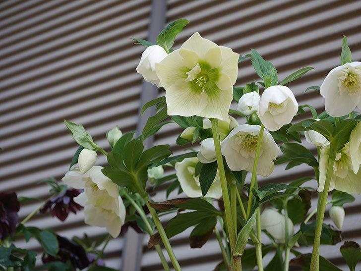 アシュードホワイトシフォンの花がたくさん咲いた。2020年-6.jpg
