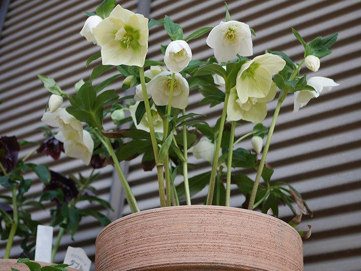 アシュードホワイトシフォンの花がたくさん咲いた。2020年-7.jpg