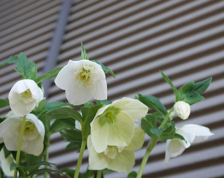 アシュードホワイトシフォンの花がたくさん咲いた。2020年-9.jpg