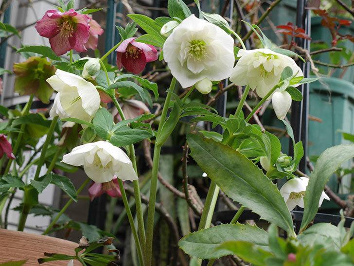 アシュードホワイトシフォンの花がたくさん咲いた。2021年-001.jpg