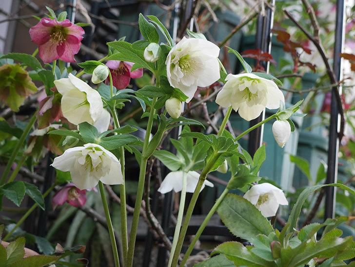アシュードホワイトシフォンの花がたくさん咲いた。2021年-003.jpg